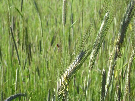 an insect on rye grass